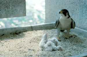 peregrine-falcon-female-bird-on-nest-with-chicks.jpg